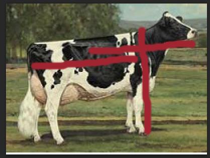 Cow Length